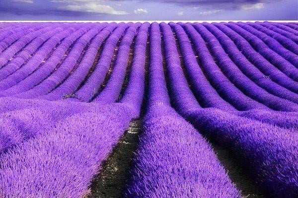 quality-scents - French Lavender - French Lavender - Quality Scents