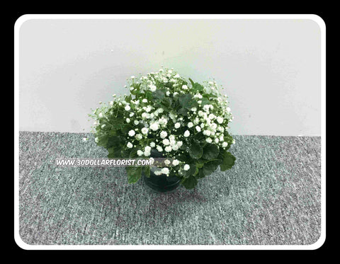 Baby Breath in a vase - ZZR1416