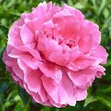 50 Peonies $262.79! You pick the colors! Add more for 3.99 ea. Shipping is included
