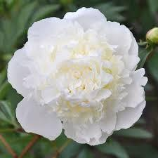 Alaska Grown Beautiful White Peonies!