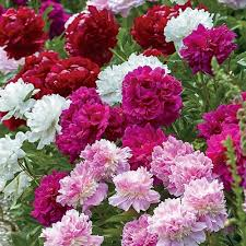 100 Peonies $462.29! You pick the colors! Add more for 3.99 ea. Shipping included