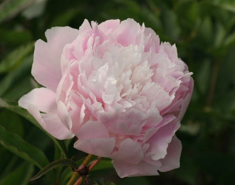Alaska Grown Beautiful Blush Peonies!