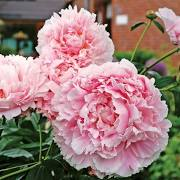 Alaska Grown Beautiful Pink Peonies!