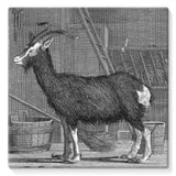 Billy Goat Stretched Canvas