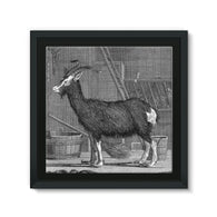Billy Goat Framed Canvas