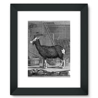 Billy Goat Framed Fine Art Print