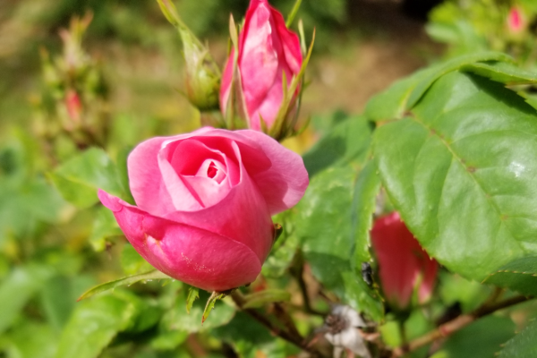 The Benefits of Rose Water