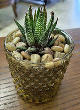Amber Glass Votive w/Live Haworthia