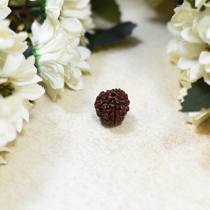 Natural Teen Mukhi/ Three Faced Rudraksha