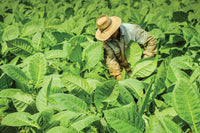 The Process of Growing Cuban Tobacco