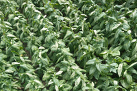 Ligero, Seco, Volado: The Three Types of Tobacco Leaves