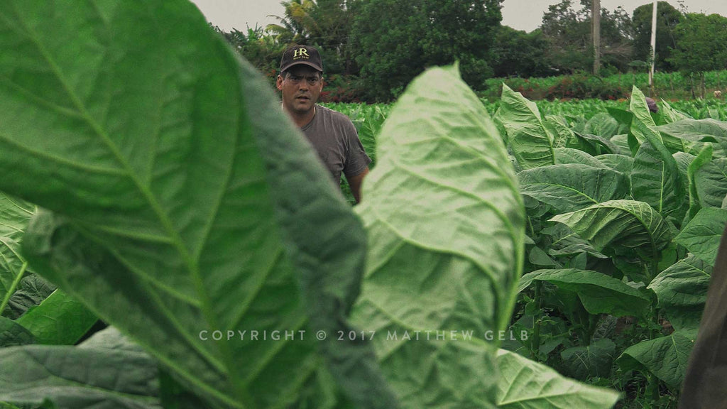 Image of a tobacco crop in the Vuelta Abajo region in Cuba.