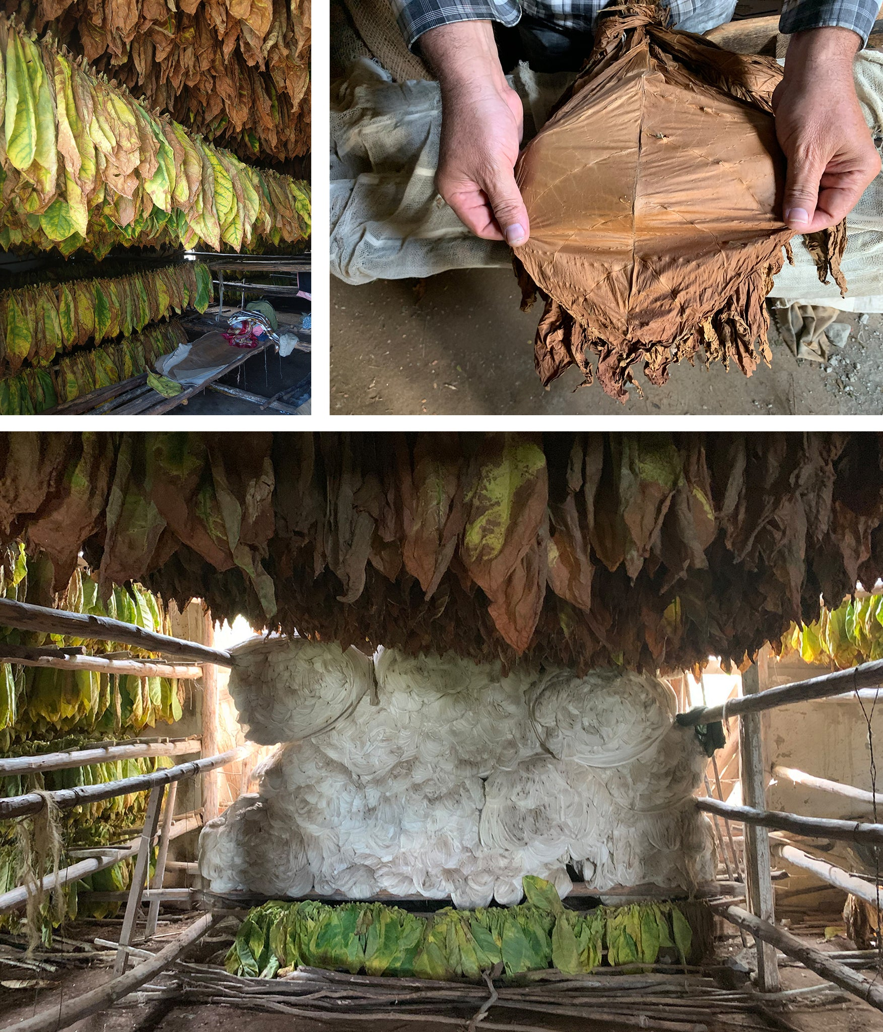 Tobacco leaves hund to dry inside cabana completely dried tobacco leaf ready to move to manufacturing
