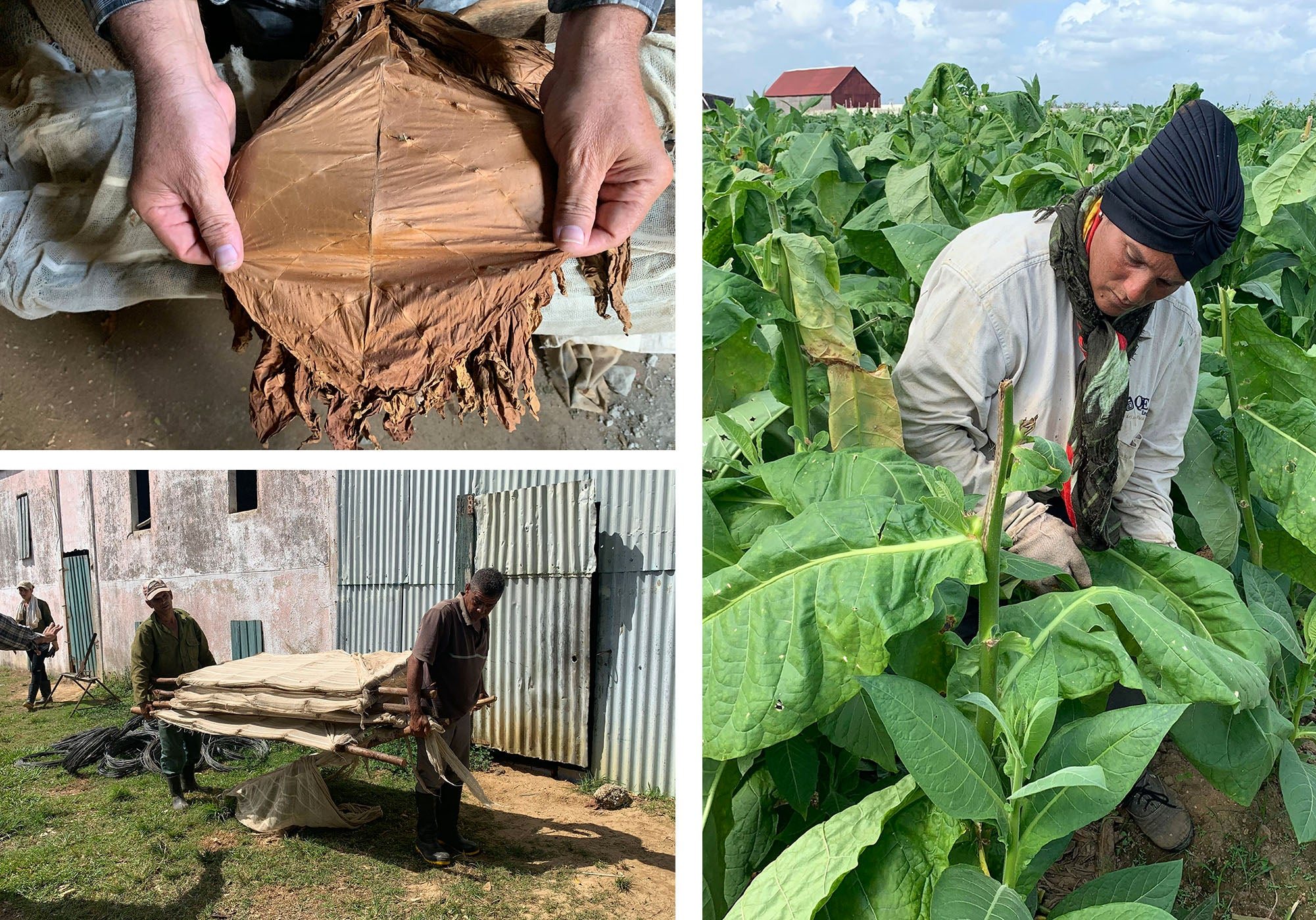collecting tobacco leaves in hoyo de mena tobacco farm cuba egm cigars