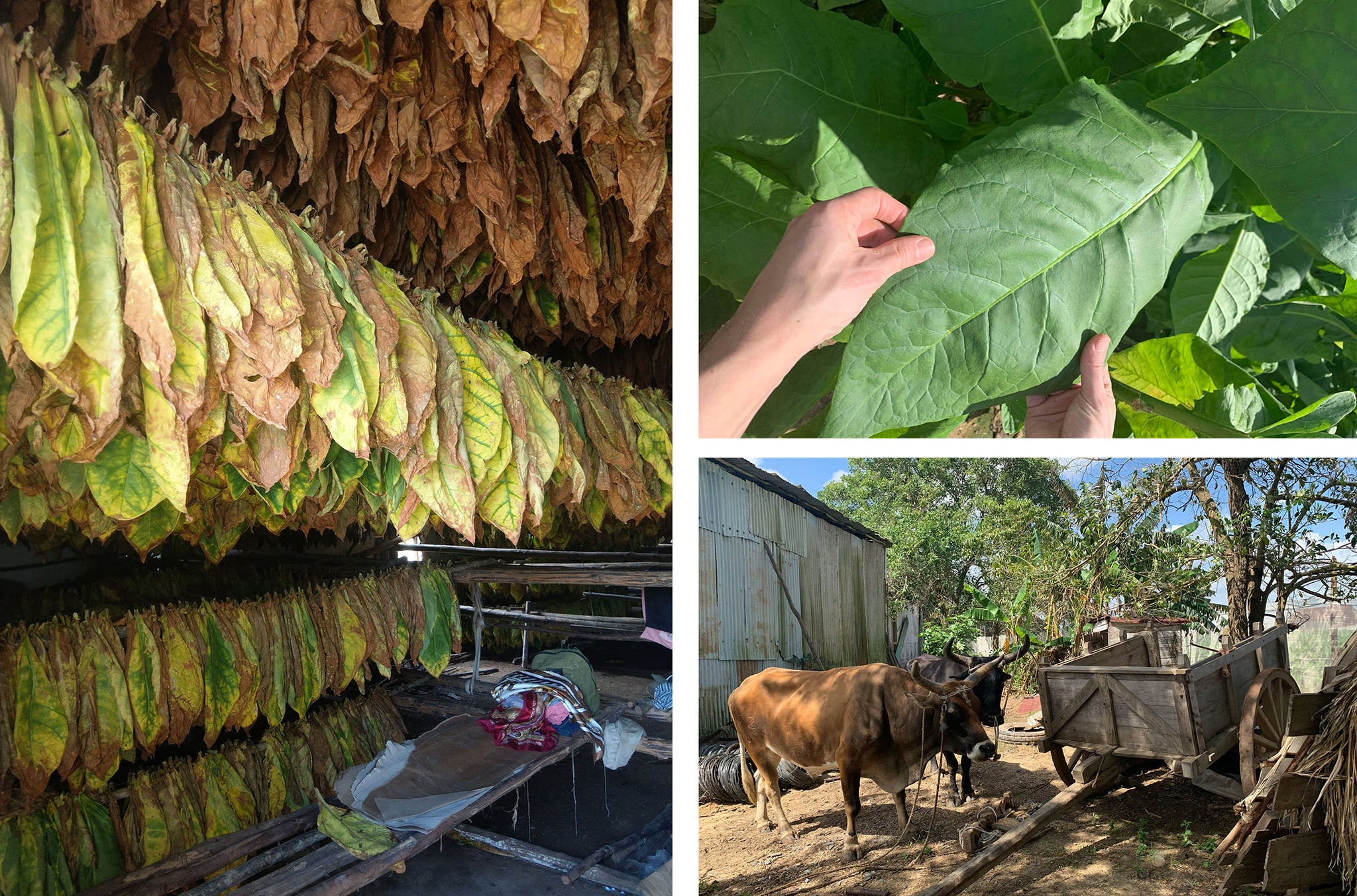 inside the hoyo de mena tobacco farm in cuba egm cigars