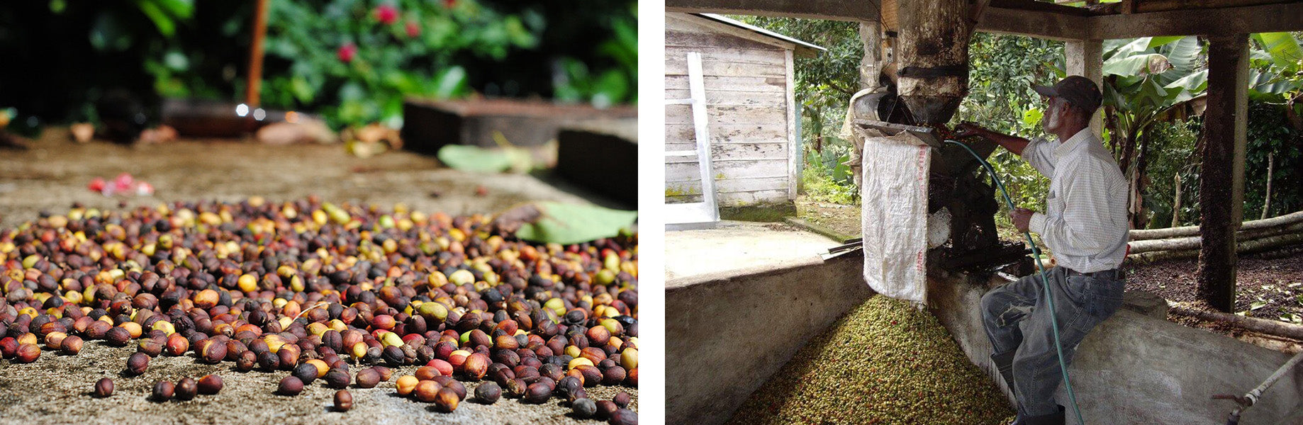 part of the process of coffee harvesting in cuba egm cigars