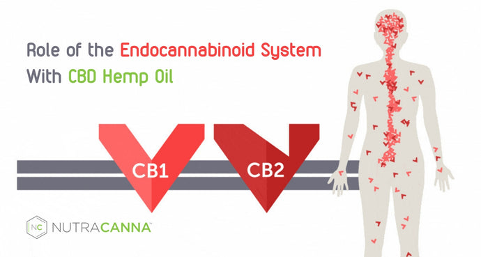 CBD Hemp Oil and The Role of the Endocannabinoid System