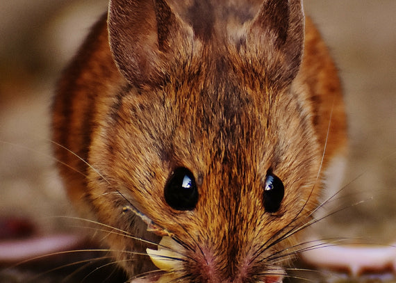 4 Ways to Get Rid of Mice without Killing them