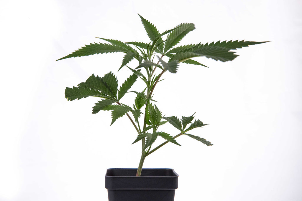Blueberry Clones: Easy Growing, High Yielding Cannabis