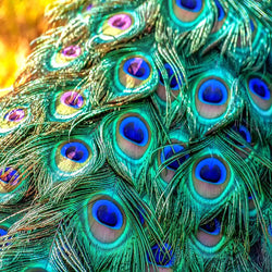 20 Pcs/lot Top quality natural peacock feathers