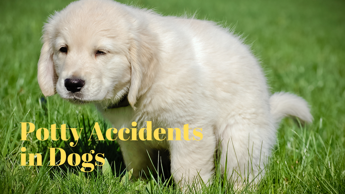 Potty Accidents In Dogs