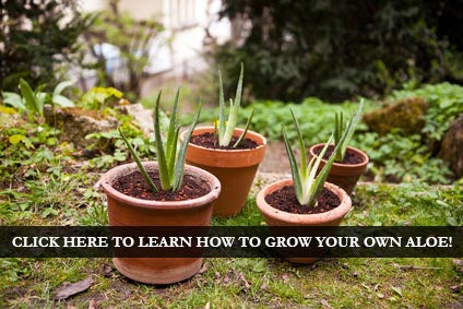Learn to grow your very own Aloe Vera!