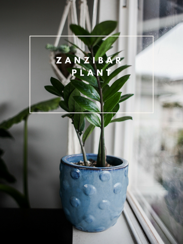 Zanzibar Rubber Tree Trendy Houseplants