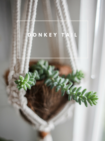 Donkey Tail Succulent Trendy Houseplants