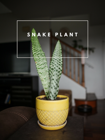 Snake Plant Trendy Houseplants