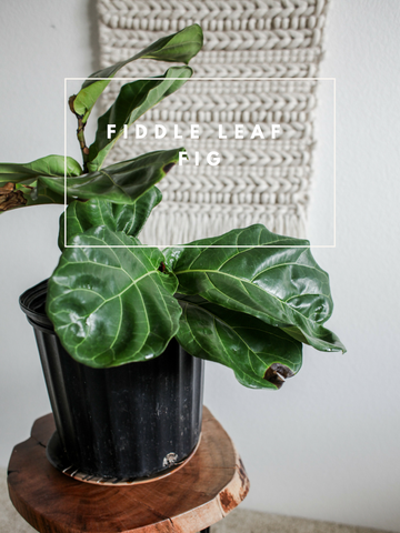 Fiddle Leaf Fig Trendy Houseplants