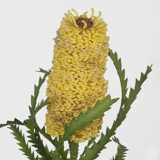 Banksia Pencil Yellow 58cm
