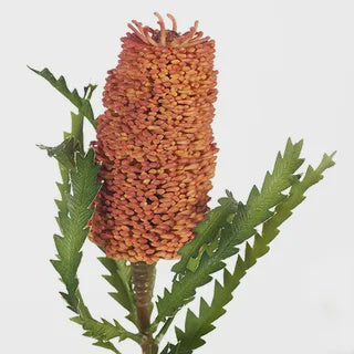 Banksia Pencil Rust 72cm