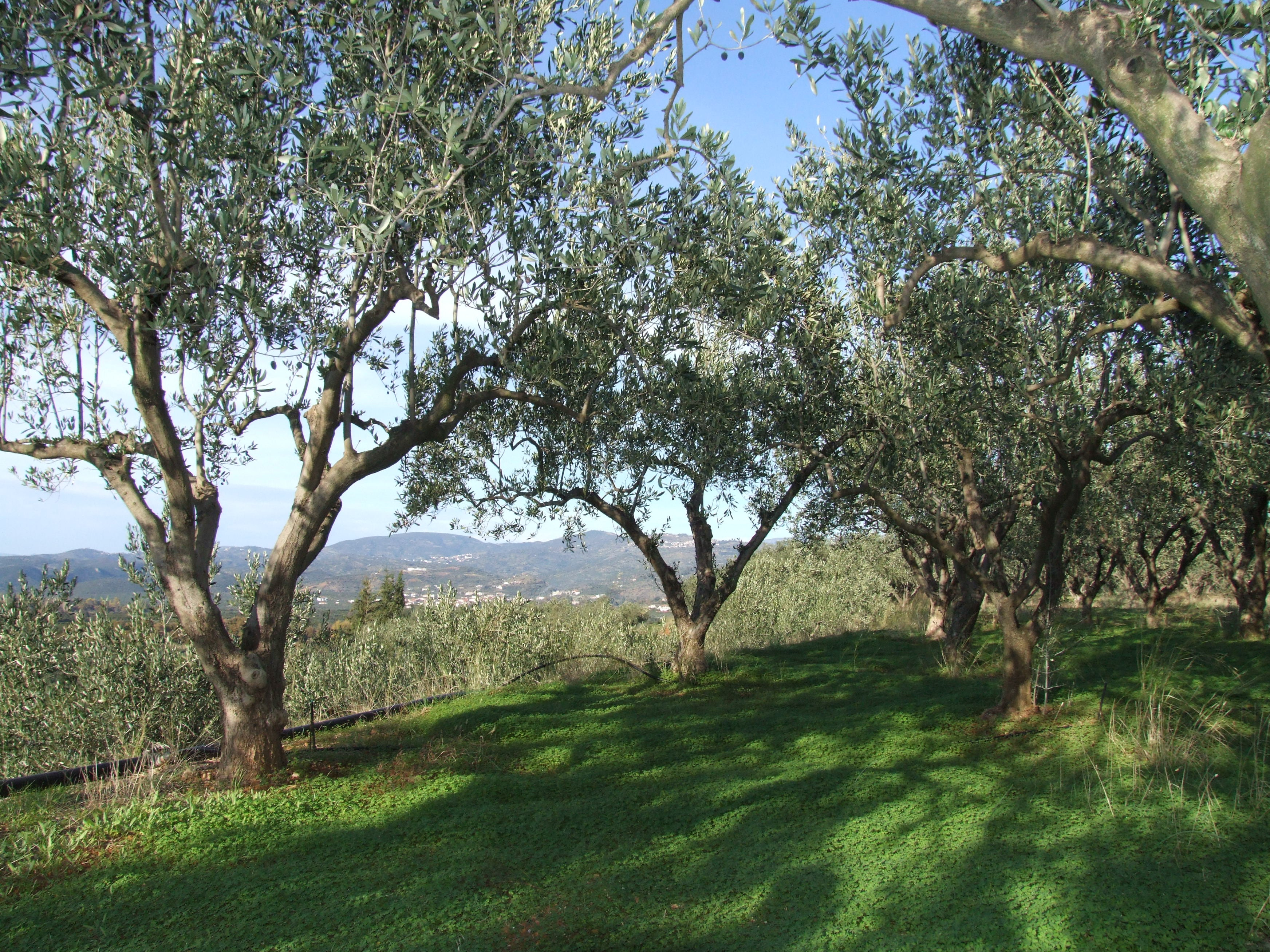 the ancient olive grove from where this twig came from