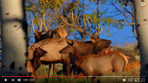 VIDEO: September Elk Calls