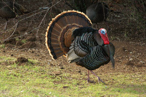 Top Ten Tips for Turkey Hunting