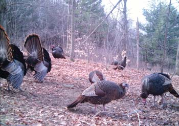turkey hunting trail cameras