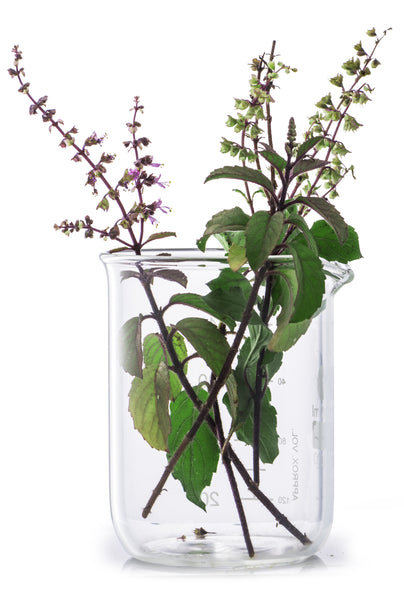 "Tulsi, the sacred plant ""symbol of purity"", for purified skin"