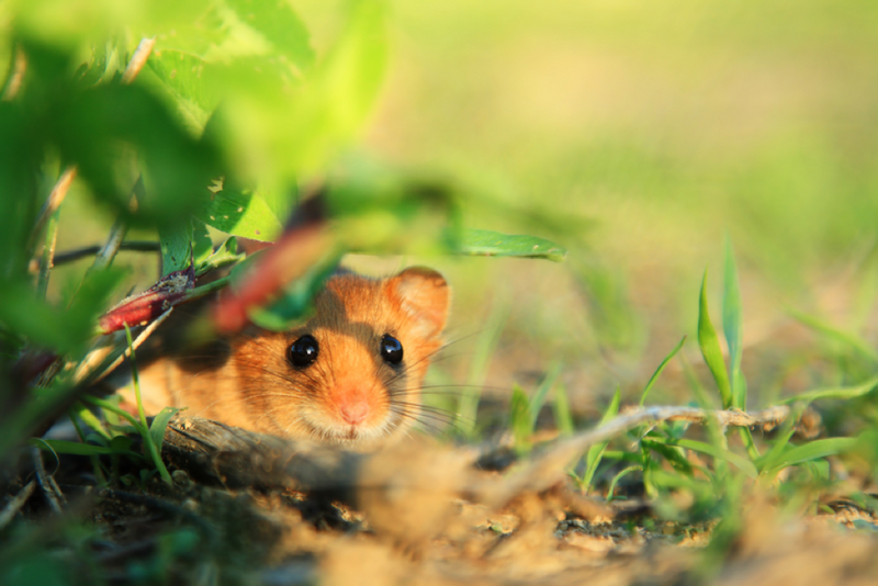 Mouse-Proof Your Homestead with These Tips