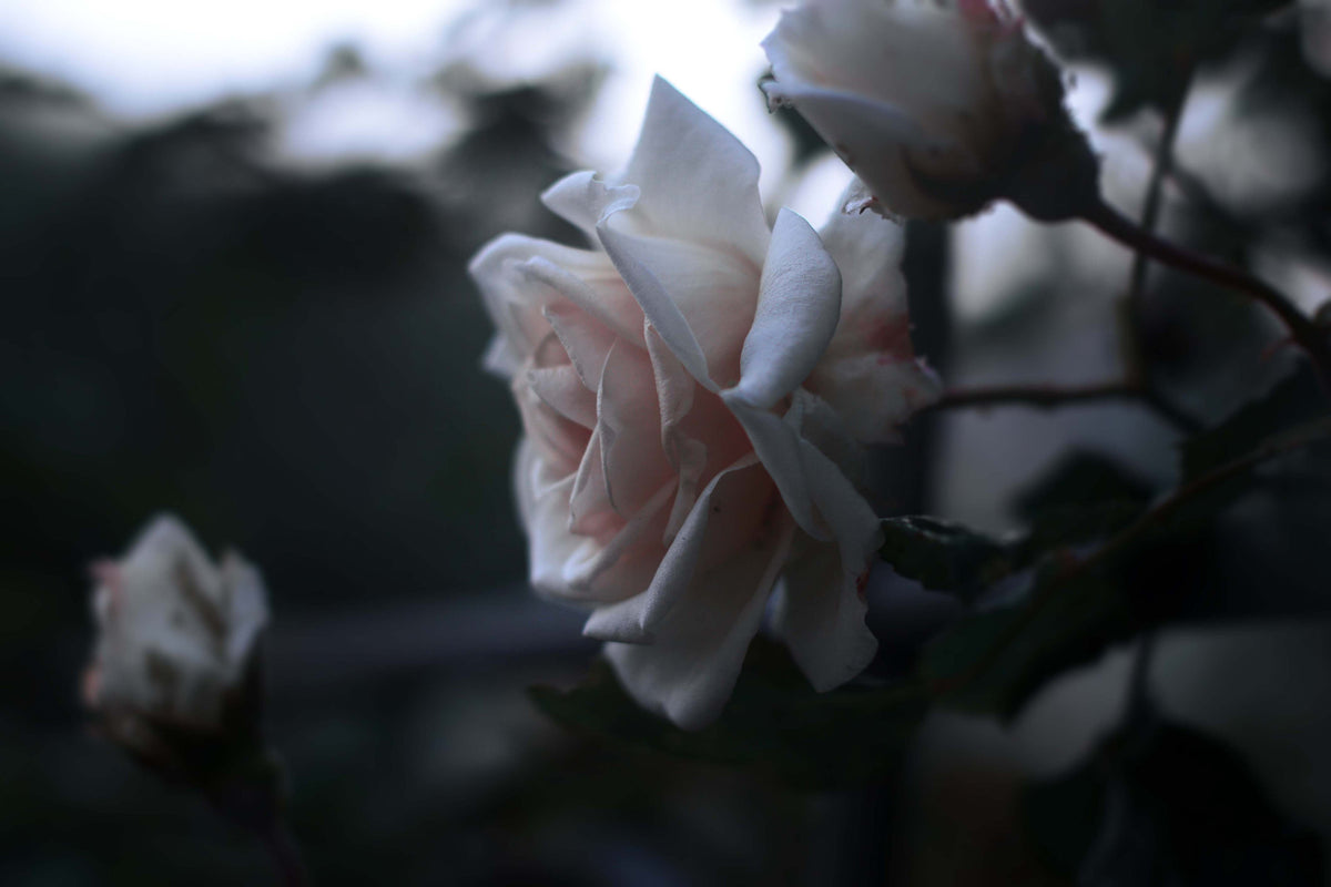 White Rose - Yousef Espanioly
