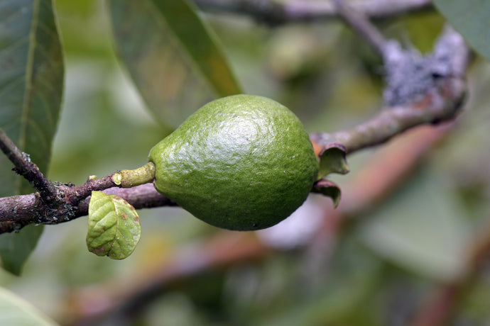 Five Plants In Brazil Labeled Good Antioxidants