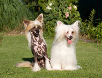 Dog Fabric, Chinese Crested Dog Fabric Panel, Twins 1861 - Beautiful Quilt
