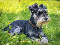 Dog Fabric, Schnauzer Fabric Panel in the Grass  1500 - Beautiful Quilt