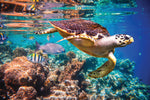 Ocean Fabric, Custom Print Panel, Turtle Swimming in a Reef 5423 - Beautiful Quilt