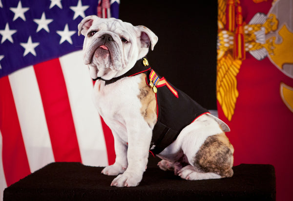 Military Fabric, Marine Fabric, Bulldog Mascot Fabric Panel 1597 - Beautiful Quilt