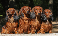 Dog Fabric, Dachshund Fabric, Long Haired Brown Doxie Fabric Panel 5712 - Beautiful Quilt