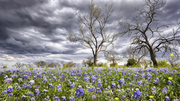 Farm Fabric, Texas Stormy Bluebonnet Field 5825