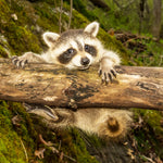Wildlife Fabric, Raccoon Fabric, Custom Print Panel 5504 - Beautiful Quilt