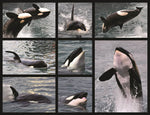 Ocean Fabric, Orca Fabric Panel aka Killer Whale Fabric 1182 - Beautiful Quilt