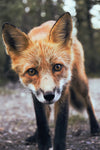 Wildlife Fabric, Fox Fabric, Here's looking at You 1374