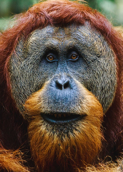 Asian Animal Fabric, Orangutan Fabric, Face 1339 - Beautiful Quilt